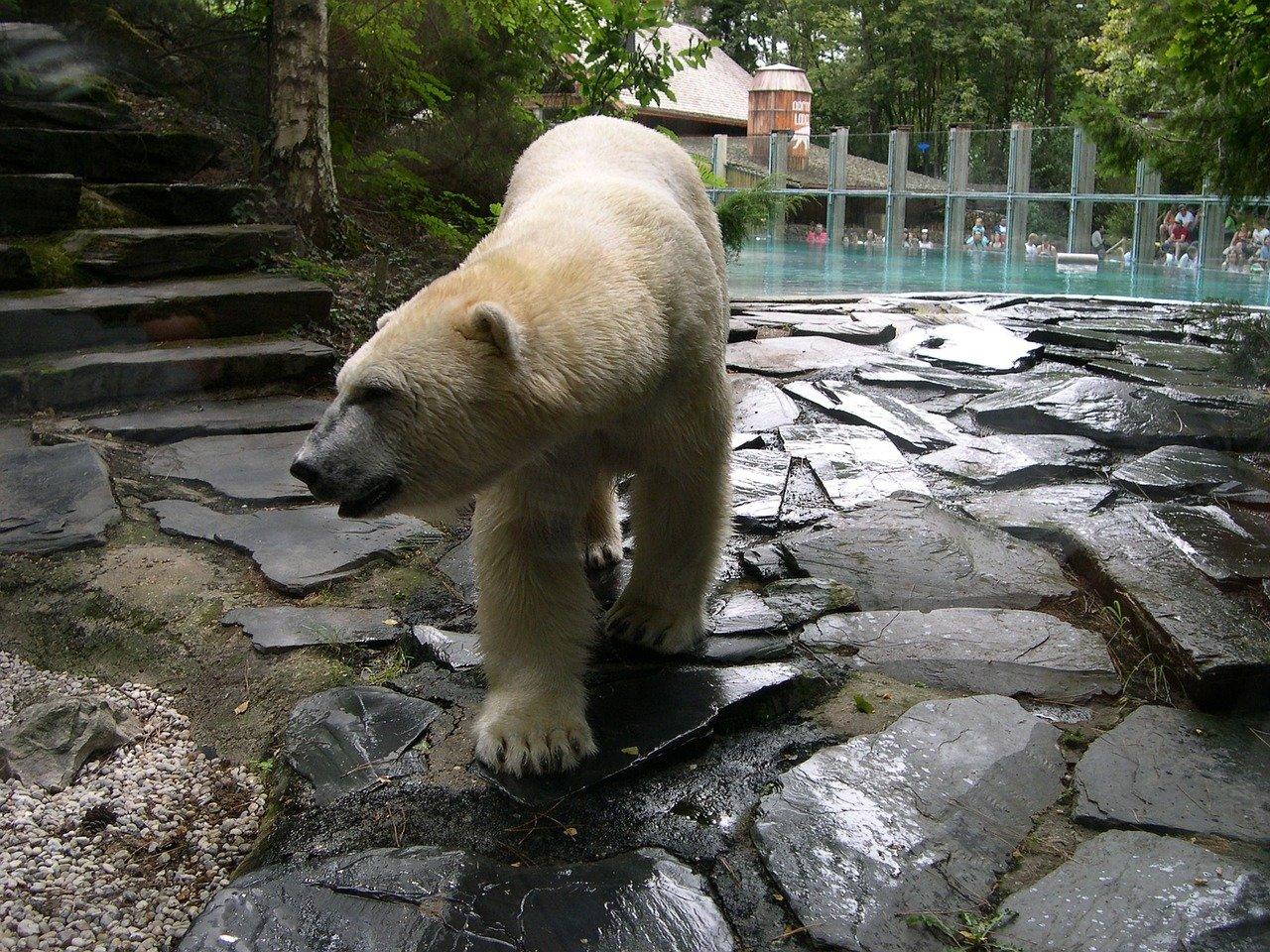 zoo de la flèche ours blanc